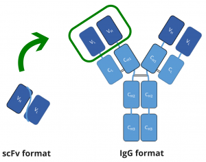 scfv-and-igg-format